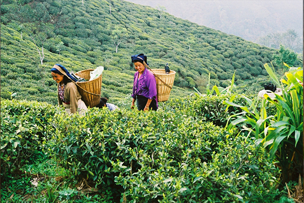 Tea Promaters India. Calcuta